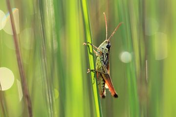 Sprinkhaan in het gras van Jacqueline Gerhardt