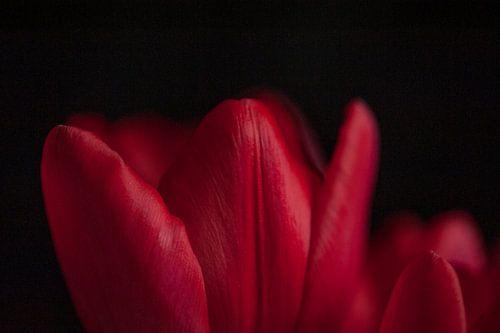 Rode tulp met zwarte achtergrond