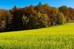 Rapsfeld vor herbstlichen Wald