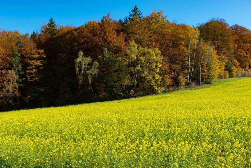 Rapsfeld vor herbstlichen Wald von Holger Debek