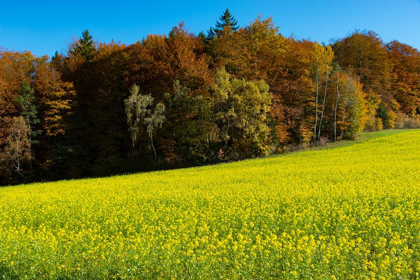 Rapsfeld vor herbstlichen Wald van Holger Debek