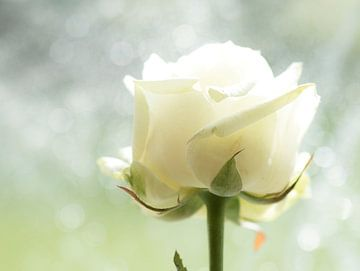 Witte Roos van hetty'sfotografie