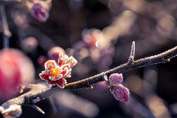 De pracht van de bevroren bloem van de Japanse sierkwee. van Joeri Mostmans