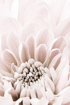 Chrysanthemum No 06, 1x Studio III van 1x