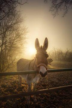 Ein neugieriger Esel posiert für ein Porträt an einem schönen nebligen Wintermorgen in Drenthe von Bas Meelker