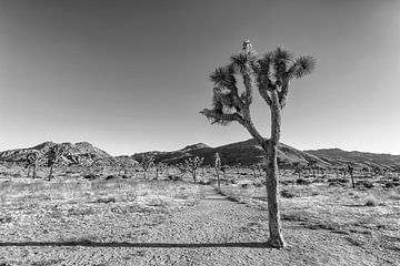 Enkelvoudige Joshua Tree | Monochroom van Melanie Viola