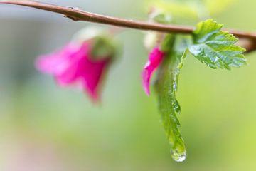 Regendruppel in het bos.  van