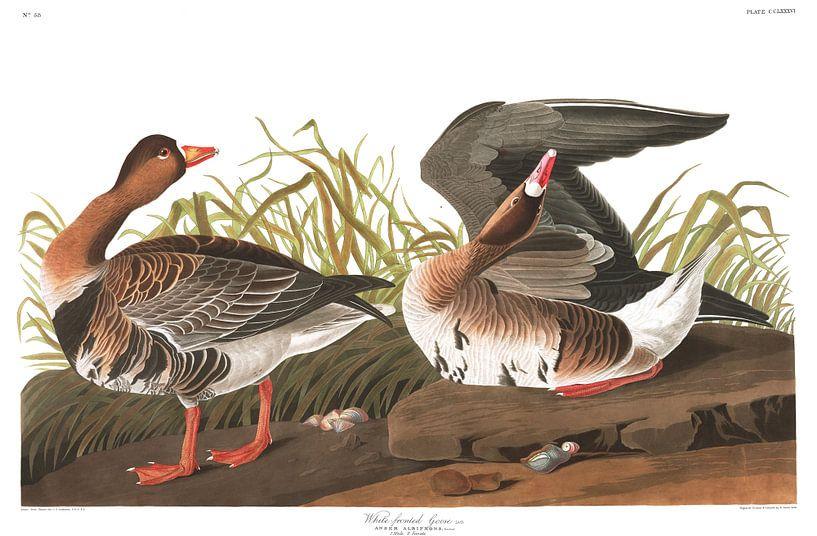 Blässgans von Birds of America