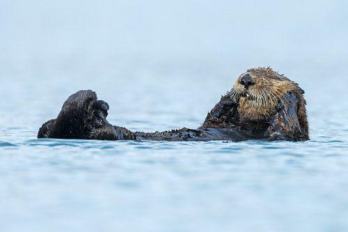 Zeeotter in het blauwe water van Alaska van