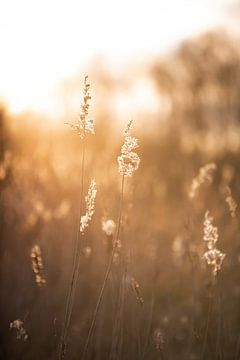 Rietstengels tijdens zonsondergang van Maria-Maaike Dijkstra