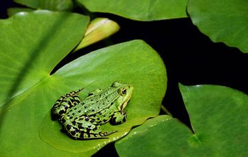Ein grüner Frosch sitzt auf einem Blatt im Teich van Ulrike Leone