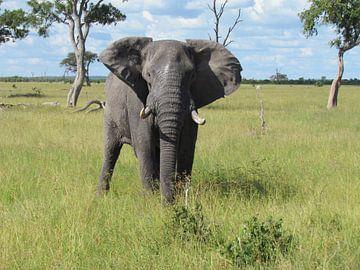 Olifant in Botswana van Kim van de Wouw