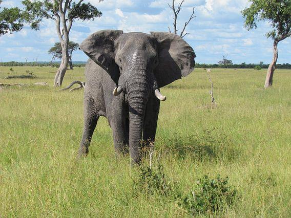 Olifant in Botswana