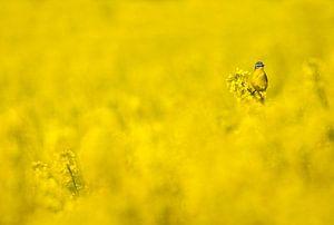 Gele Kwikstaart in een geel koolzaadveld
