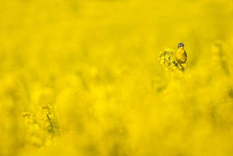 Gele Kwikstaart in een geel koolzaadveld van Beschermingswerk voor aan uw muur