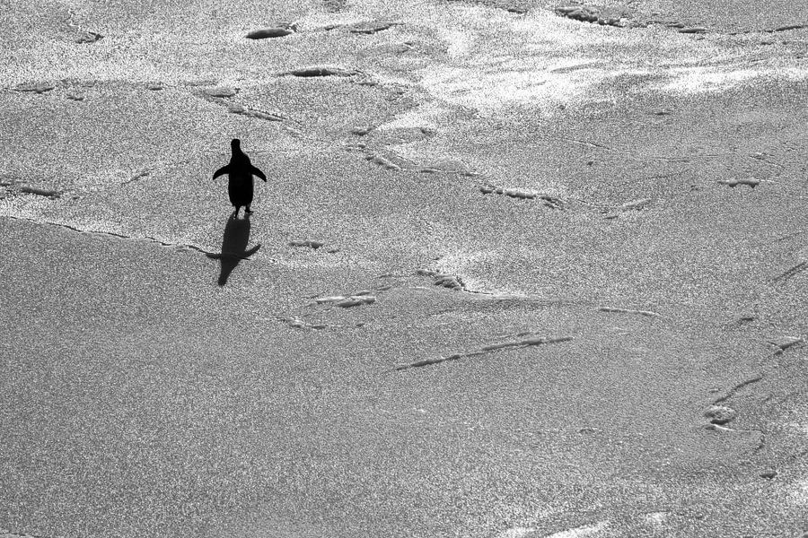 Eenzame adelie pinguin op ijsschots in Antarctica van Eefke Smets