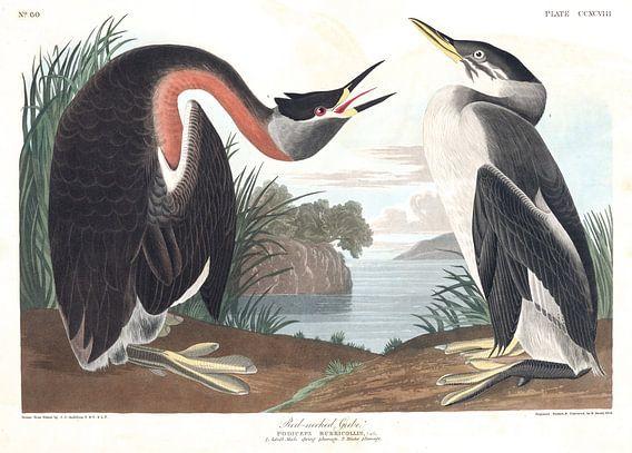 Roodhalsfuut van Birds of America
