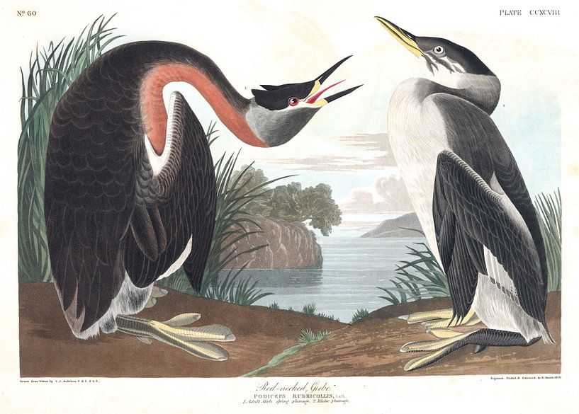 Rothalstaucher von Birds of America
