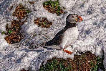 Papegaaiduiker op Hornøya van Kai Müller