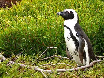 Pinguin in Südafrika von Patrick Hundt