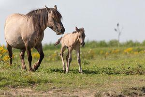 Konikpaard merrie en pasgeboren veulen Oostvaardersplassen