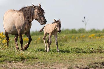 Pferd fohl und merrie - Oostvaardersplassen von Servan Ott