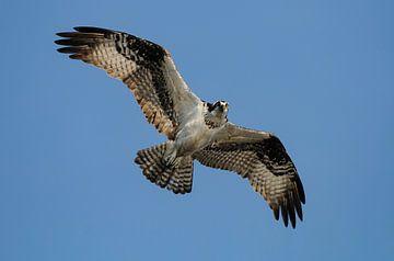 Fischadler im Flug von Harry Eggens