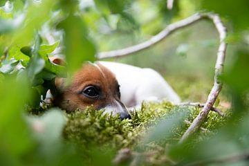 Jack Russell Terriër puppy in het bos.