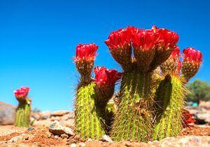 Rood bloeiende cactus in de  Namib woestijn