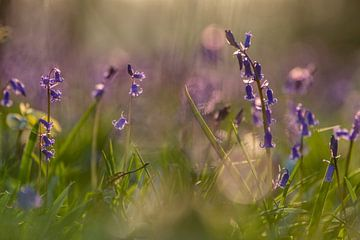 Blauwe boshyacinten in de ochtendzon
