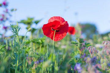 Wilde Sommerblumen 09 von FotoDennis.com