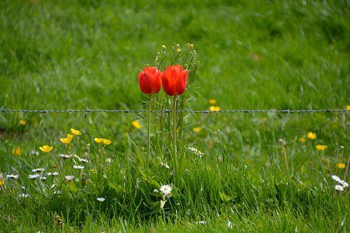 Tulpen maken het mooier bij het prikkeldraad