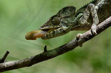 Kameleon op Madagaskar van