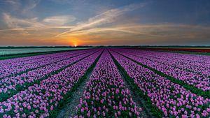 Tulpen op Texel