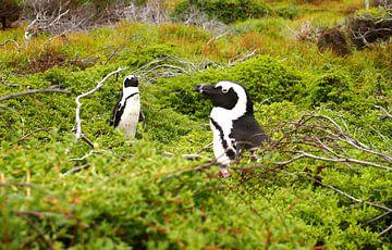 Pinguine in Südafrika van Patrick Hundt