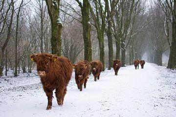 Schotse Hooglanders in de Sneeuw van Charlene van Koesveld