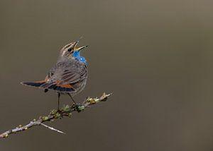 De zingende blauwborst op een sleedoorn