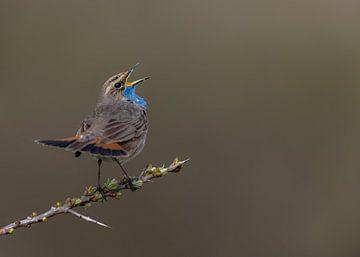 De zingende blauwborst op een sleedoorn van Michael Kuijl
