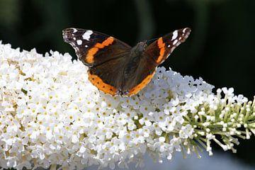 Atalanta-Schmetterling auf weißem Schmetterlingsbusch von Cora Unk