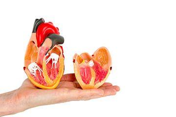 Open model  menselijk hart op hand van Ben Schonewille