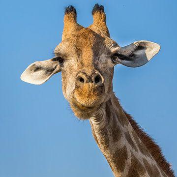 Giraf in beeld van Peter Grobbee