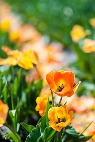 Gouden Tulpen van Pieter van Roijen