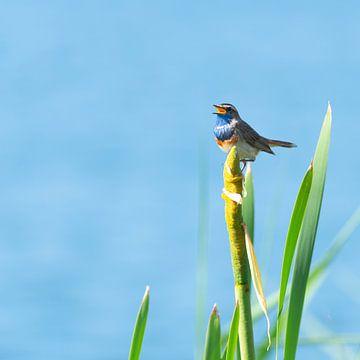 Zingende blauwborst van Jan van Meegen