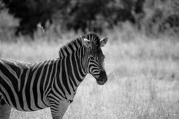 Zebra in schwarz-weiß von Jarno Dorst