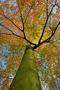Herfstboom in volle kleurenpracht.