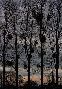 mistletoe 2 von Henk Speksnijder