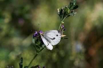 Nahaufnahme eines Schmetterlings (Kohlweißling) von Reiner Conrad