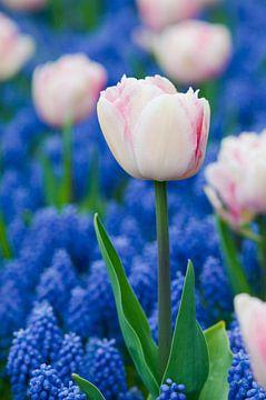 Wit-roze tulpen en blauwe druifhyacinten van Tamara Witjes