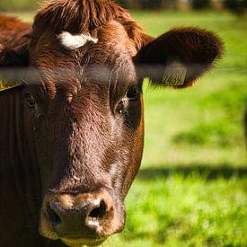 Brandrode koe van Joran Quinten