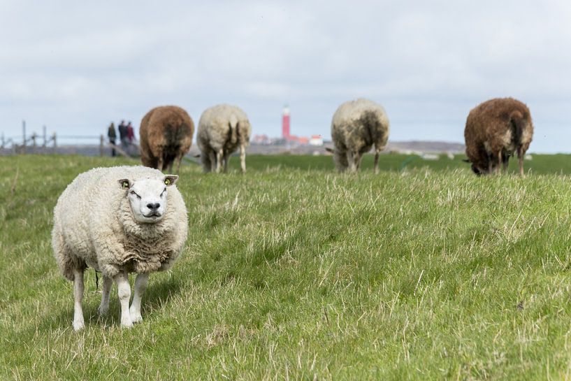 Sheeps near Lighthouse. sur Nicole van As